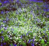Bluebell Woods Spring