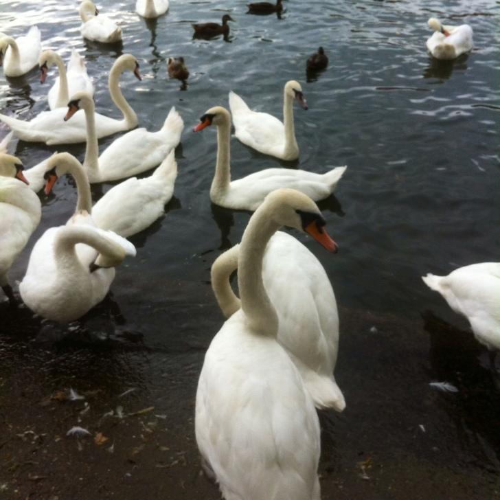 Swans Windsor