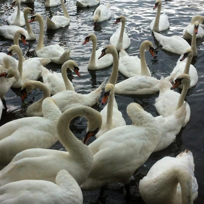 Windsor Swans