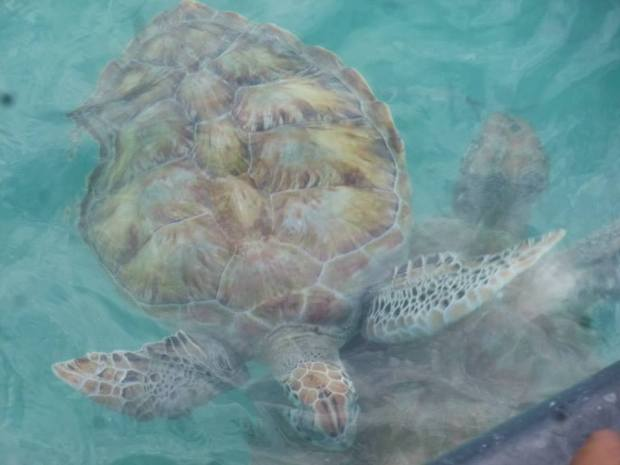 Barbados Turtles