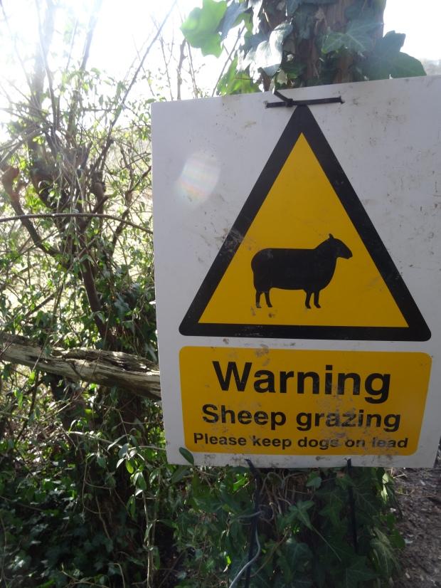 Sheep Buckinghamshire