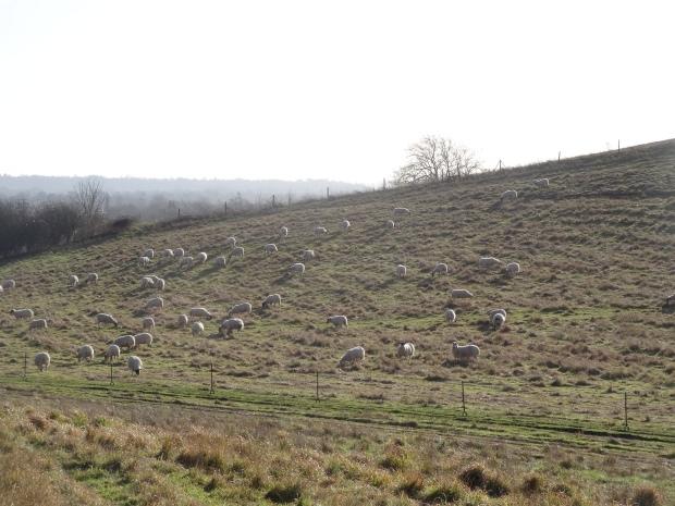 Sheep Buckinghamshire Grazing