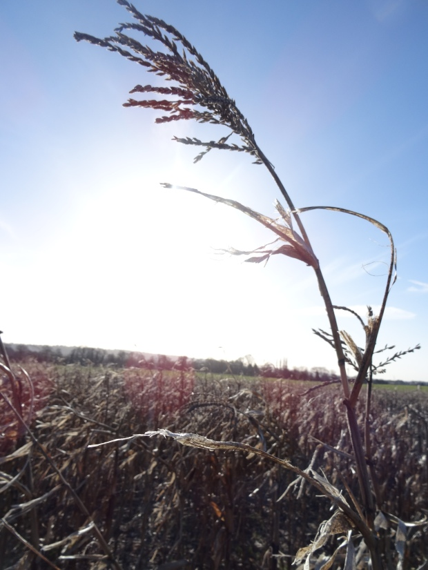 Corn Field Bucks