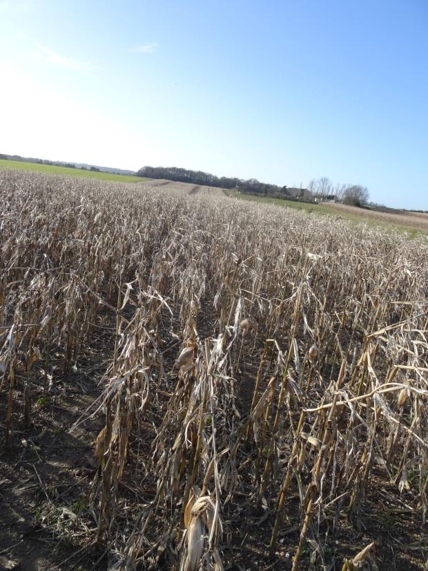 Corn Field Buckinghamshire